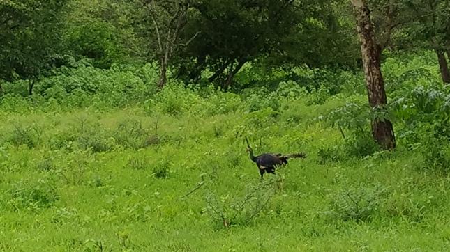 Burung Merak Bebas Berkeliaran