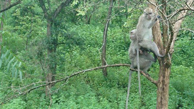 Monyet Bebas Berkeliaran